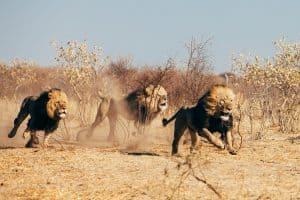 Løver i Afrika
