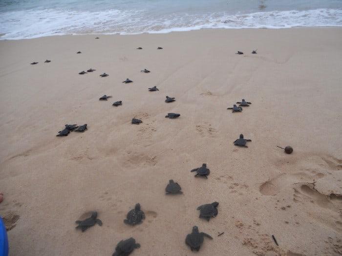 Havskildpadder i Sri Lanka