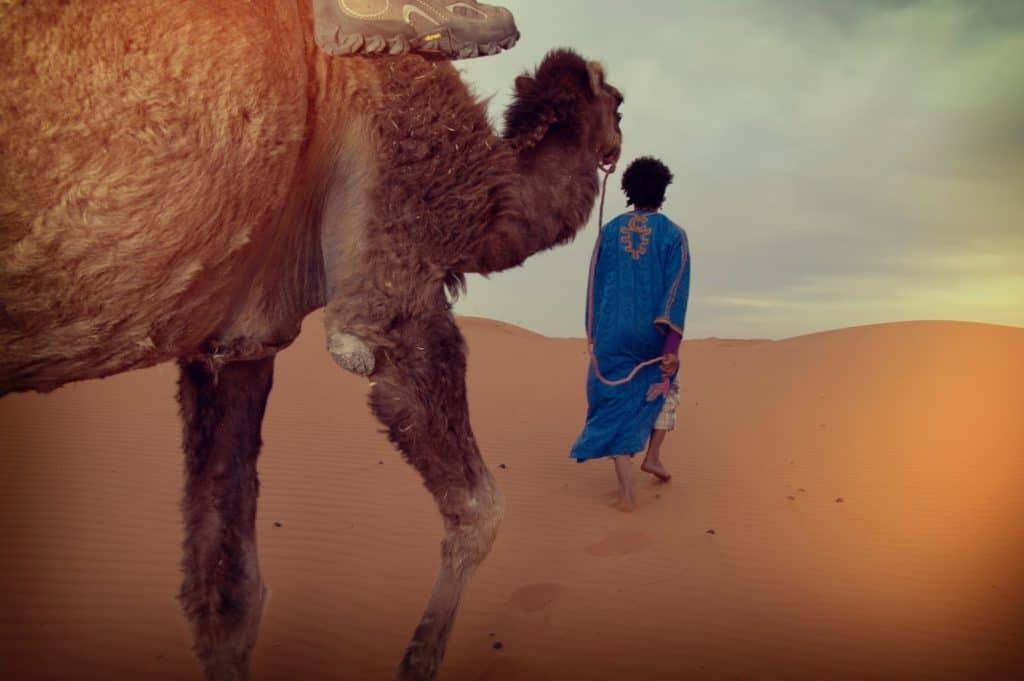 Kameler i Marokko