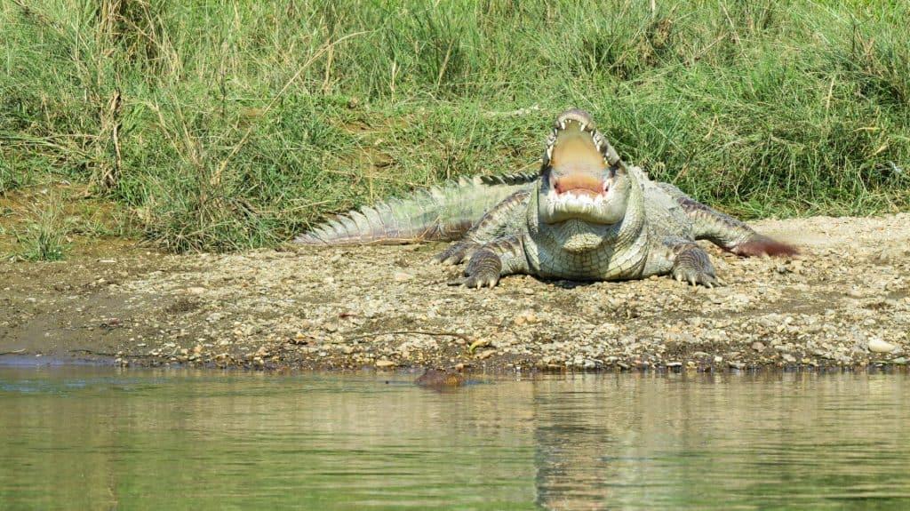 Krokodiller i Nepal
