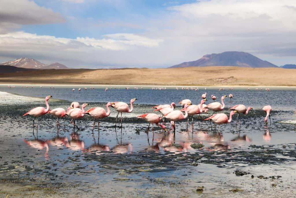 Flamingoer i Peru