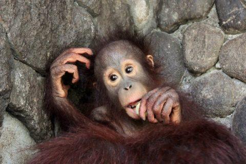 Orangutanger og Wildlife på Java